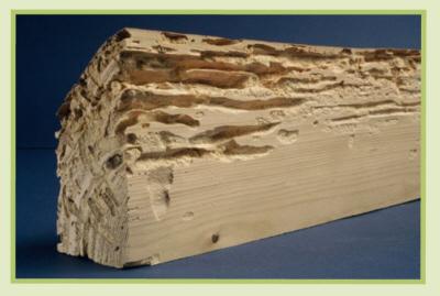 Traitement du bois alchitech s rl for Capricorne du chene traitement